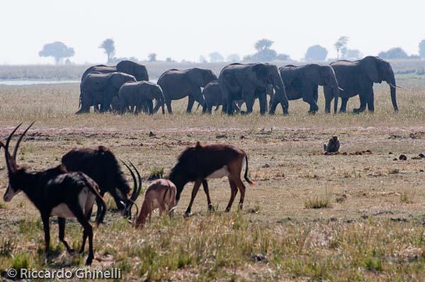 Botswana - Parco del Chobe