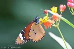 Farfalla monarca (Zambia)